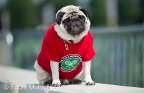 "Mcc0082379 © Eddie Mulholland Wimbledon . ""Gizmo"" the Pug who has been coming to Wimbledon for three years."